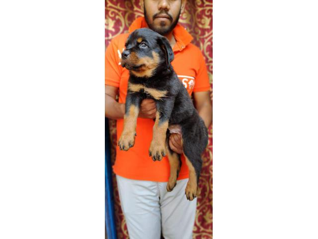 Selling my rottweiler puppy