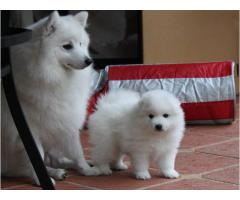 White Spitz Pups For Sell Khwabeeda Dreamy Pet's