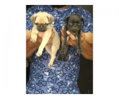 Pug male and female available for sale
