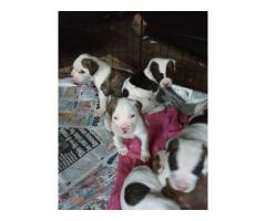 Contact free male and female adorable puppies
