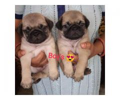 Pug puppies available for sale in 8810523600