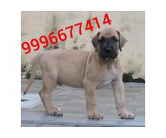 Import Pedigree GreatDane Pup Available