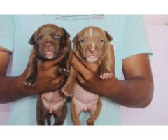 Top quality heavy bone American bully puppies available