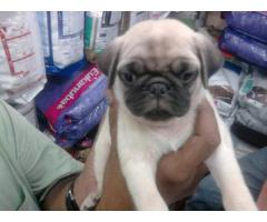 Genuine Quality Pug Breed Top Quality Puppies Available 100% Pure