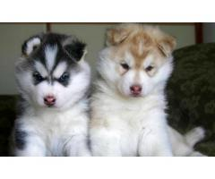 Genuine Quality Siberian husky Breed Top Quality Puppies Available 100% Pure