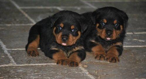 Genuine Quality Rottweiler Breed Top Quality Puppies Available 100% Pure