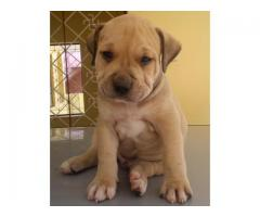 Genuine Quality Pitbull Breed Top Quality Puppies Available 100% Pure
