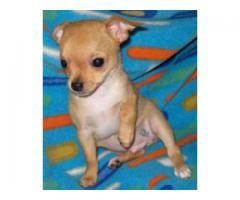 Genuine Quality Chihuahua Breed Top Quality Puppies Available 100% Pure