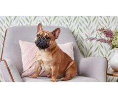 french bull dog puppies for sale.....