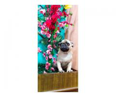 SUPER DUPER HEAVY PUG MALE & FEMALE AT ROYAL ORCHID PAWS