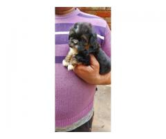 ROYAL ORCHID PAWS TIBETAN TERRIER MALES AND FEMALES FOR SELL