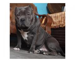 AMERICAN BULLY SHORT MUZZLE HEAVY HEAD ROYAL ORCHID PAWS 9205546224