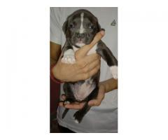 American bully pup for sale
