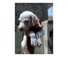 good quality pak bully available at reasonable price