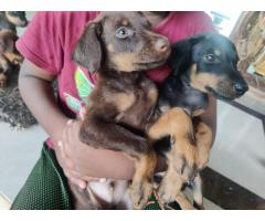 Doberman puppies male and female for sales