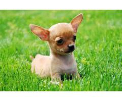 9971331250 Hing quality Chihuahua pups for sale in Testify kennel