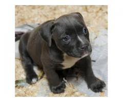 8130990153 AMERICAN BULLY HIGH QUALITY PUPPIES FOR SELL