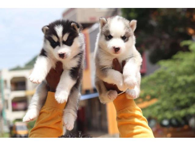 TOP QUALITY HUSKY PUPPIES AVBL IN CHENNAI9677128162