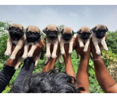 Pug puppies ava.for sale