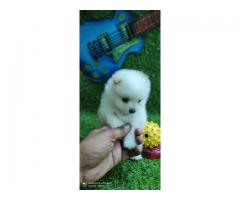 White pomeranian ava... We deals in all dog breeds call for further details@8810523600-pets kennel