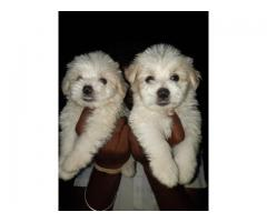 BEST QUALITY LHASA APSO PUPPIES MALE FEMALE SALES@CHENNAI9677128162