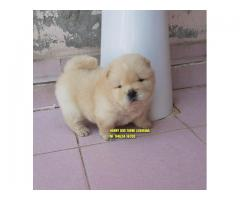 Outstanding Quality Chow Chow Puppies In Chandigarh