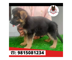 Double coat GERMAN SHEPHERD MALE Puppy Available For sale in Khanna. CALL: 9815081234