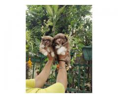 Lhasa apso puppies puppies ready for rehoming from pet's kennel 8882699055