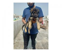 Gsd puppies available for rehoming