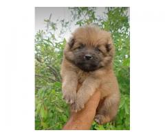 Culture POM Male Puppy  Available in Chandigarh Mohali Panchkula.Call: 9815081234.