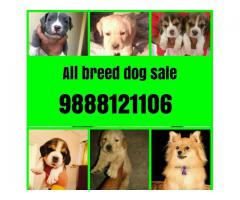All breed dogs sale and purchase online in jalandhar city 9888121106