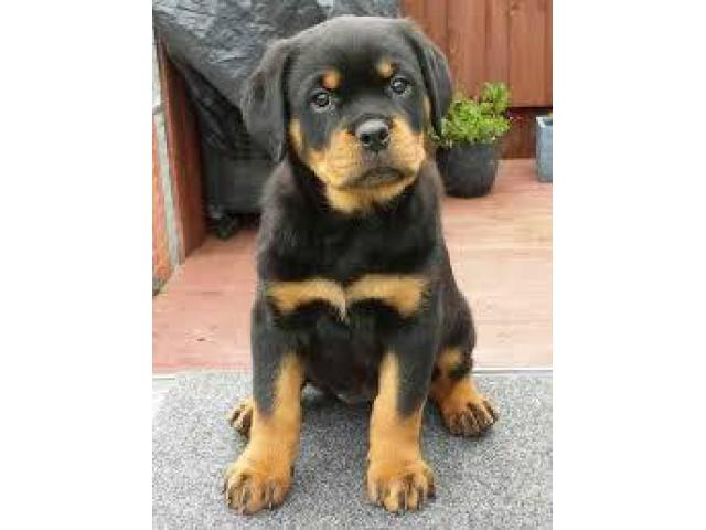 8368241911 ROTTWEILER PURE BREED PUPS FOR SELL
