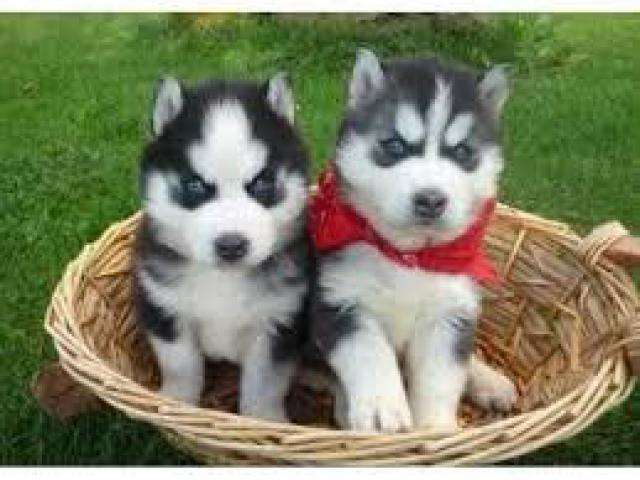 8368241911 PURE BREED SIBERIAN HUSKY PUPS FOR SELL