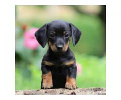 8368241911 PURE BREED DACHSHUND PUPPIES AVAILABLE FOR SELL