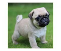 8130990153 MIND-BLOWING PUG PUPPIES FOR SELL
