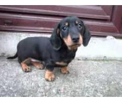 8130990153 AMAZING DACHSHUND PUPS FOR SELL