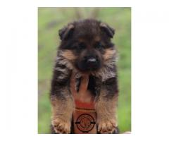 German Shepherd Puppies Available For sale in Jalandhar. CALL: 9815081234