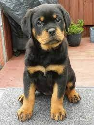 HEAVY BONES ROTTWEILER AVA.FOR SALE @ PAWS KENNEL