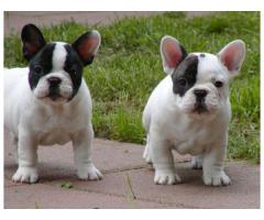 French Bulldog Puppies Available Tavaqqo Pet's Store