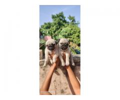 Pug puppies available in chennai call 7200040780