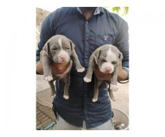 Top quality American bully puppy available