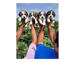 Beagle puppies available for sale