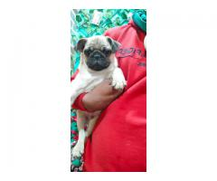 EXTREME QUALITY HEAVY BONED PUG MALE FEMALE PUPPS ARE READY TO GO NEW HOMES