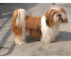 AWESOME HAVANESE PUPPS FULLY CERTIFIED AT ROYAL ORCHID PAWS