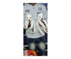 SNOW WHITE FLUFFY POMERANIAN PUPPS AT ROYAL ORCHID PAWS 9205546224