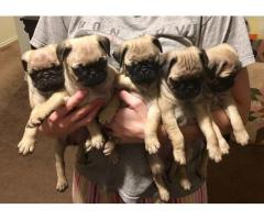Pug Pups For Sell Tavaqqo Pet's Store