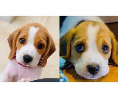 Top Quality Beagle Breed Top Quality Puppies Available 100% Pure