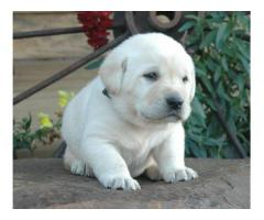 LABRADOR PUP IN DELHI NCR at BEST PRICE RANGE CALL OR WHATSAAP on 7042450221