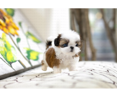 NEWLY BORN SHIHTZU PUP READY FOR SALE DELIVERY AVL IN DELHI NCR