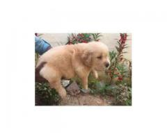 golden ret. puppies ava.for sale @dogs kennel
